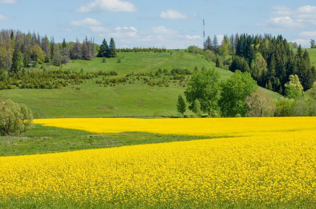 Cánh đồng hoa Colza,Thuỵ Điển - Ảnh sưu tập