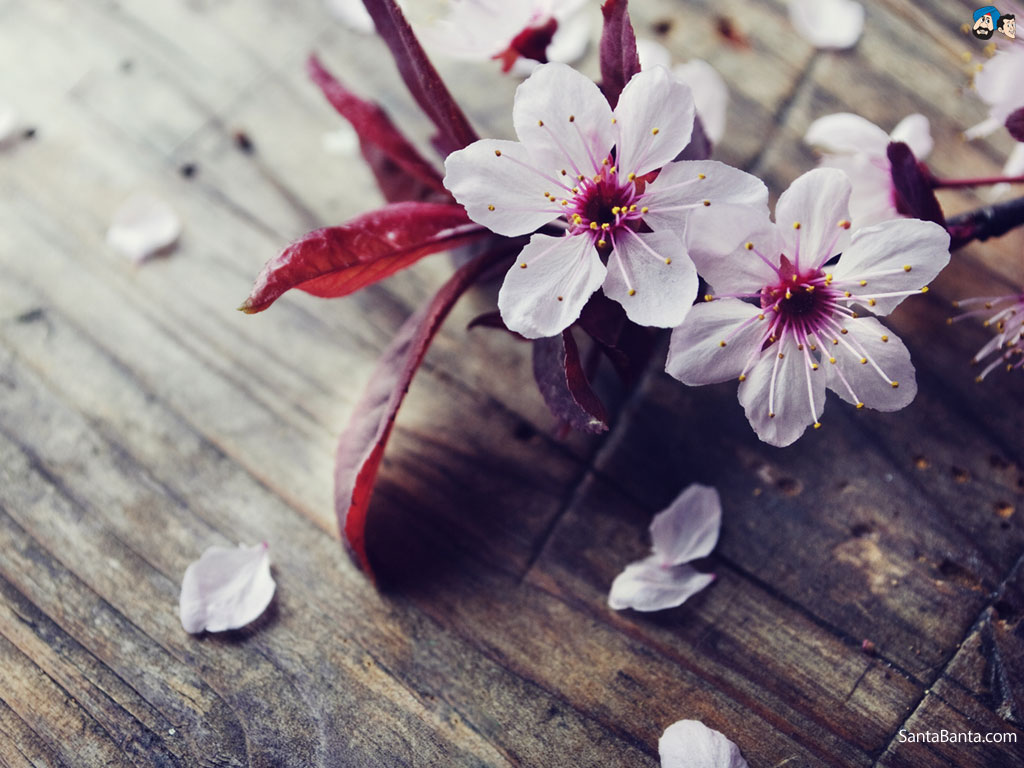 cherry-blossoms-2v